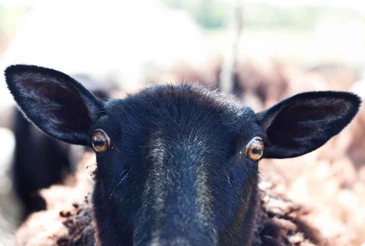 nyfiket-får